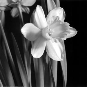 Daffodil by Darlene Shiels