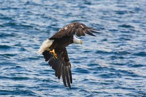 A Bald Eagle, Haliaeetus Leucocephalus, with a Small Caught Fish in its Talons by Darlyne A. Murawski
