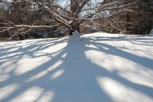 A Beech Tree, Fagus Species, Casting a Long Shadow on a Snowy Hill by Darlyne A. Murawski