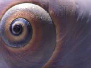 A Close View of the Spirals of a Moon Snail Shell by Darlyne A. Murawski