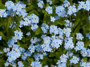 A Cluster of Forget Me Not Flowers, Myosotis Species, in Springtime by Darlyne A. Murawski