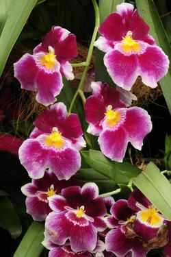 A Cluster of Pink Miltoniopsis Orchid Flowers, Miltoniopsis Species by Darlyne A. Murawski