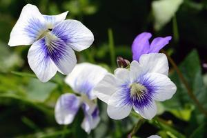 A Cluster of Wild Violets on a Spring Day by Darlyne A. Murawski