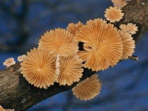A Common Split Gill Mushroom by Darlyne A. Murawski