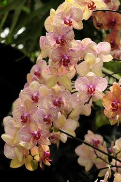 A Display of a Large Cluster of Phalaenopsis Orchids by Darlyne A. Murawski
