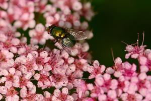 A Female Blowfly Visits Pink Spirea Flowers for Nectar by Darlyne A. Murawski