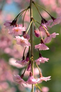 A Flowering Branch of a Weeping Higan Cherry Tree, Prunus Subhirtella Pendula by Darlyne A. Murawski