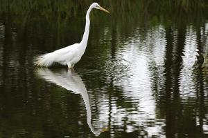 A Great Egret, Ardea Alba, Wading in a Pond by Darlyne A. Murawski