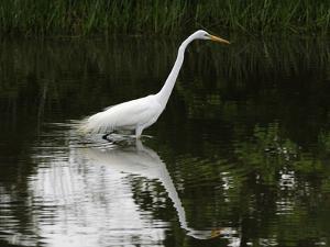 A Great Egret, Ardea Alba, Wading Through a Pond While Hunting Prey by Darlyne A. Murawski