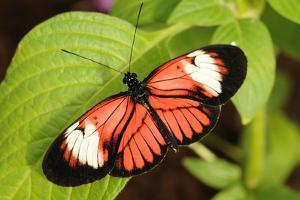 A Heliconius Butterfly Perched on a Leaf with its Wings Open by Darlyne A. Murawski