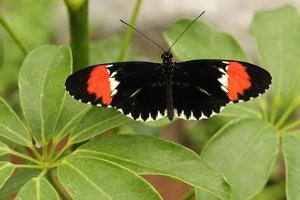 A Heliconius Butterfly Resting on a Plant by Darlyne A. Murawski