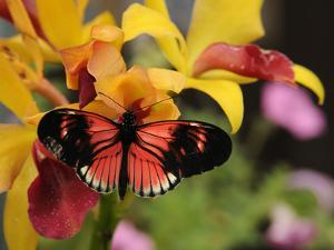A Heliconius Butterfly Visiting an Orchid Flower for Nectar by Darlyne A. Murawski