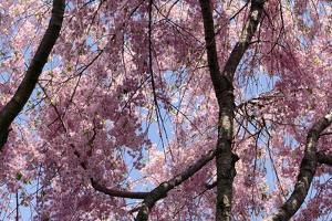 A Hybrid Cherry Tree in Spring. it Is a Cross Between Prunus Subhirtella and Prunus Yedoensis by Darlyne A. Murawski
