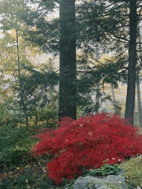 A Japanese Maple Tree by Darlyne A. Murawski