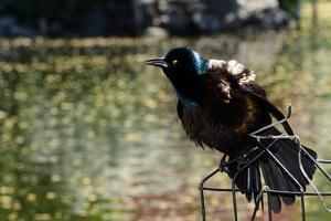 A Male Common Grackle, Quiscalus Quiscula, Displaying from a Wire Perch by Darlyne A. Murawski