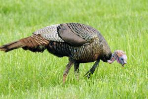 A Male Wild Turkey, Meleagris Gallopavo, Foraging by Darlyne A. Murawski