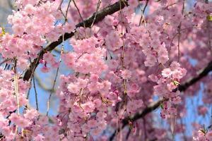 A Massive Floral Display in a Weeping Higan Cherry Tree, in Spring by Darlyne A. Murawski
