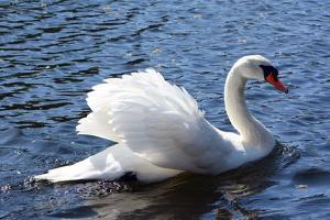 A Mute Swan, Cygnus Olor, Swims in a Pond in the Public Garden by Darlyne A. Murawski