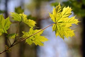 A Norwa Maple Leaf Strongly Backlit by the Sun by Darlyne A. Murawski
