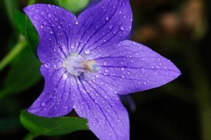 A Purple Balloon Flower Covered in Water Drops by Darlyne A. Murawski