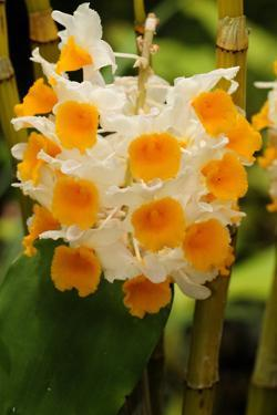 A Raceme of Orange and White Orchid Flowers by Darlyne A. Murawski