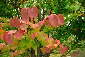 A Redbud Tree with Fall Foliage in the Asticou Azalea Gardens by Darlyne A. Murawski