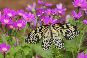 A Rice Paper Butterfly, Idea Leocone, Pollinating Pink Daisies by Darlyne A. Murawski