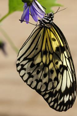 A Rice Paper Butterfly, Idea Leuconoe, Resting on a Flower by Darlyne A. Murawski