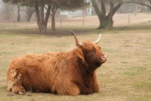 A Scottish Highland Cattle Relaxes on the Farm on a Foggy Day by Darlyne A. Murawski