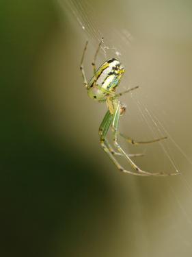 A Spider in its Silk Orb Web by Darlyne A. Murawski