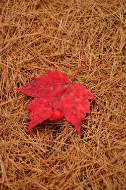 A sugar maple leaf rests on a bed of pine needles on the ground. by Darlyne A. Murawski