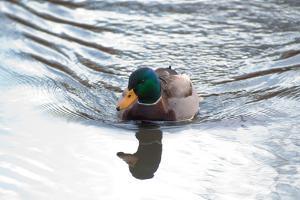 A Swimming Mallard Drake, Anas Platyrhynchos, Makes Waves in a Pond by Darlyne A. Murawski