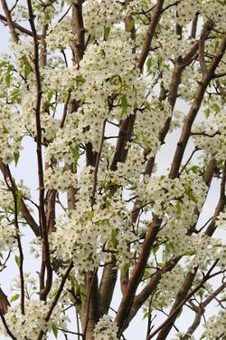 A Tree of the Prunus Species, Blooming in Spring by Darlyne A. Murawski