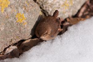 A Winter Wren, Troglodytes Hiemalis, Foraging Between a Rock Wall and a Snow Bank by Darlyne A. Murawski