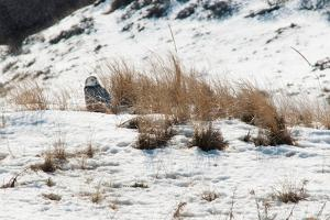A Young Snowy Owl Resting on Snow-Covered Dunes on Plum Island by Darlyne A. Murawski
