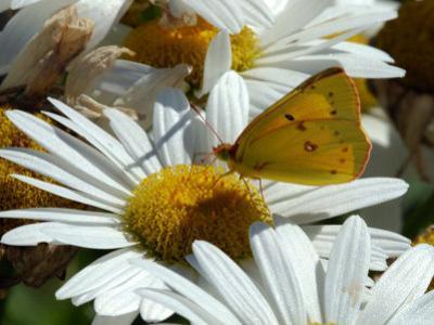 Alfalfa Butterfly Drinking Nectar from a Daisy, Belmont, Massachusetts, USA by Darlyne A. Murawski