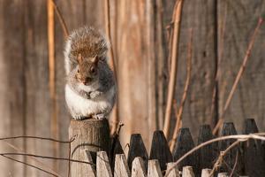 An Eastern Gray Squirrel, Sciurus Carolinensis, Sitting on a Fence Post by Darlyne A. Murawski