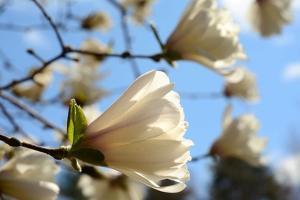 Backlit Magnolia Flowers, in Spring by Darlyne A. Murawski