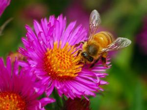 Bee Sipping Nectar from a Bright Pink Flower by Darlyne A. Murawski