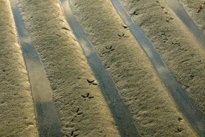 Bird Tracks in Rippled Sand at Low Tide by Darlyne A. Murawski