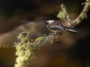 Black-Capped Chickadee, Parus Atricapillus, on Lichen-Covered Branch by Darlyne A. Murawski