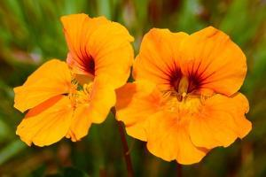 Bright Orange Nasturtium Flowers by Darlyne A. Murawski