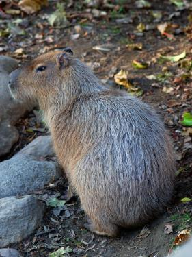 Capybara, the World's Largest Rodent by Darlyne A. Murawski
