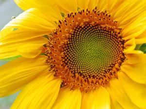 Center of a Sunflower by Darlyne A. Murawski