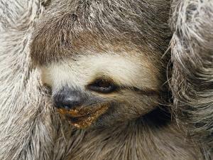 Close Portrait of a Three Toed Sloth by Darlyne A. Murawski