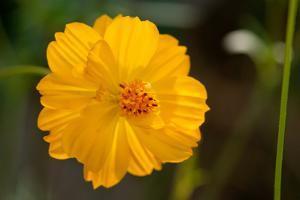 Close Up of a Bigelow Coreopsis Flower, Coreopsis Bigelovii by Darlyne A. Murawski