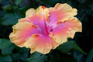 Close Up of a Bon Temps Hibiscus Flower by Darlyne A. Murawski
