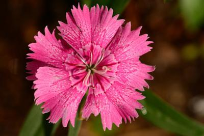 Close up of a Carthusian pink flower, Dianthus carthusianorum, in a garden. by Darlyne A. Murawski