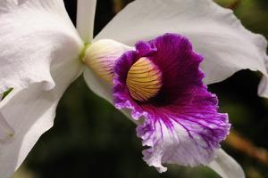 Close Up of a Cattleya Orchid Flower by Darlyne A. Murawski