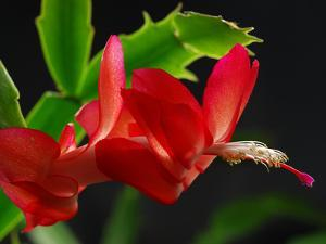 Close Up of a Christmas Cactus, Schlumbergera Truncatus, in Bloom by Darlyne A. Murawski